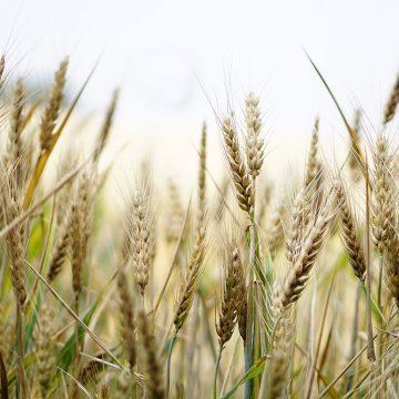 Ata Tohumu Buğday Hasadı